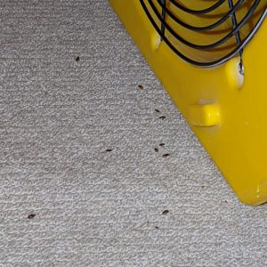 bed-bugs-killed-with-heat