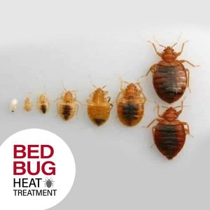 Bed Bug Life Cycle and Stages of Life of Bed Bug