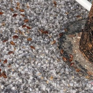 Bed Bugs on Carpet