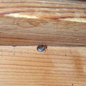 Bed bug under bed